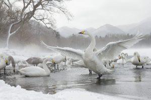 japan_swan