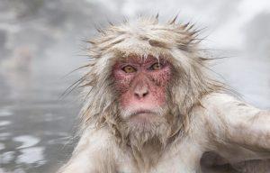 snow-monkey_w2o2841
