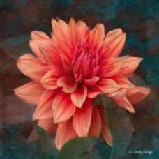Peach Dahlia by Candy Felege